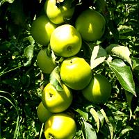 Колоновидные яблони: посадка и уход, обрезка и выращивание.