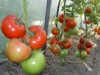 Простые правила ухода за помидорами в теплице