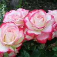 Способы выращивания садовых роз