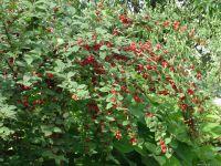 Войлочная вишня  выращивание, посадка, размножение